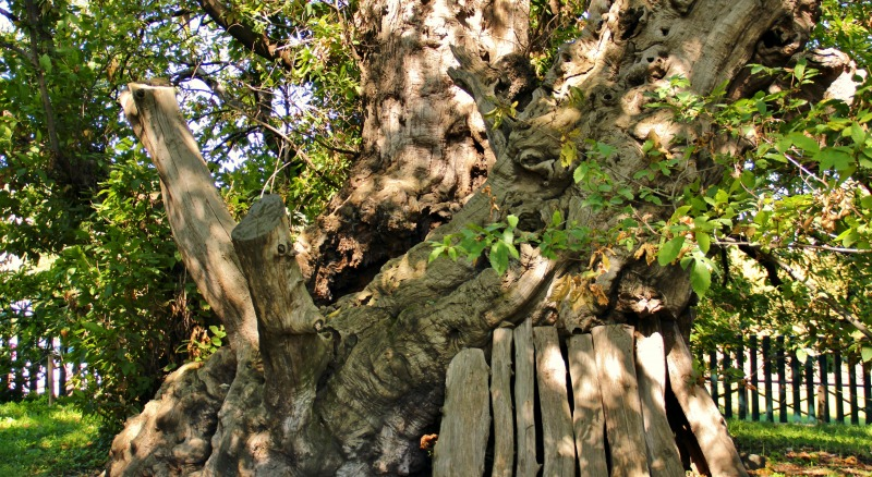 etna romance itinerari The One-hundred horses chestnut tree in S. Alfio